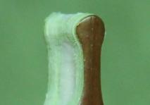 Прививка прививочным секатором - привой