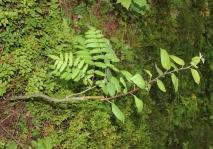 Растение, привитое прививочным секатором