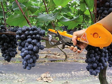 Подвязка винограда тапенером (подвязчиком растений)