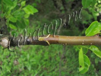 Устройство для прививки деревьев