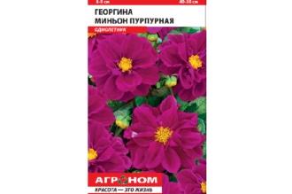 Георгина Миньон пурпурная - многолетнее травянистое растение