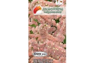Лимониум Абрикосик – яркие кустики высотой 55-60 см