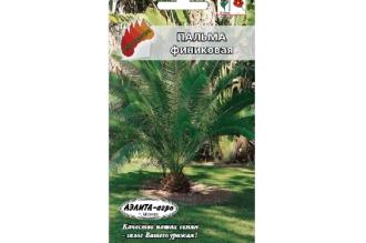 Пальма Финиковая – вечнозеленое тропическое дерево с тонким стволом