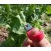 Нож для сбора овощей