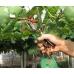 Подвязка винограда с помощью инструмента для подвязки лозы Tapener